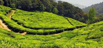 Plantaţiile de ceai